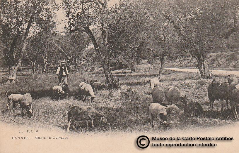 Carte postale ancienne représentant des champs d'oliviers à Cannes, issue des réserve du musée de la carte postale, à Antibes.