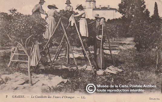 Carte postale ancienne représentant la cueillette des fleurs d'oranger à Grasse pour la confection du parfum.