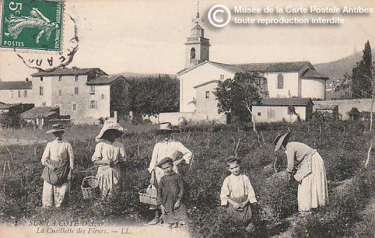 Carte postale ancienne représentant la cueillette des fleurs à Grasse, pour la confection du parfum.