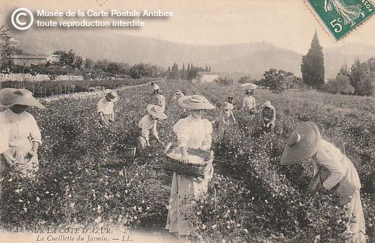Carte postale ancienne représentant la cueillette du jasmin à Grasse, pour la confection du parfum.