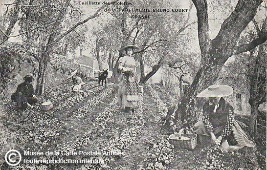 Carte postale représentant la cueillette des violettes à Grasse, pour la parfumerie Bruno Court.