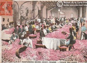 Carte postale représentant le triage des fleurs de rose à Grasse pour la confection du parfum.