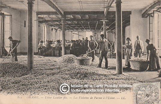 Carte postale représentant la production du parfum de violette à l'usine Lantier Fils de Grasse.