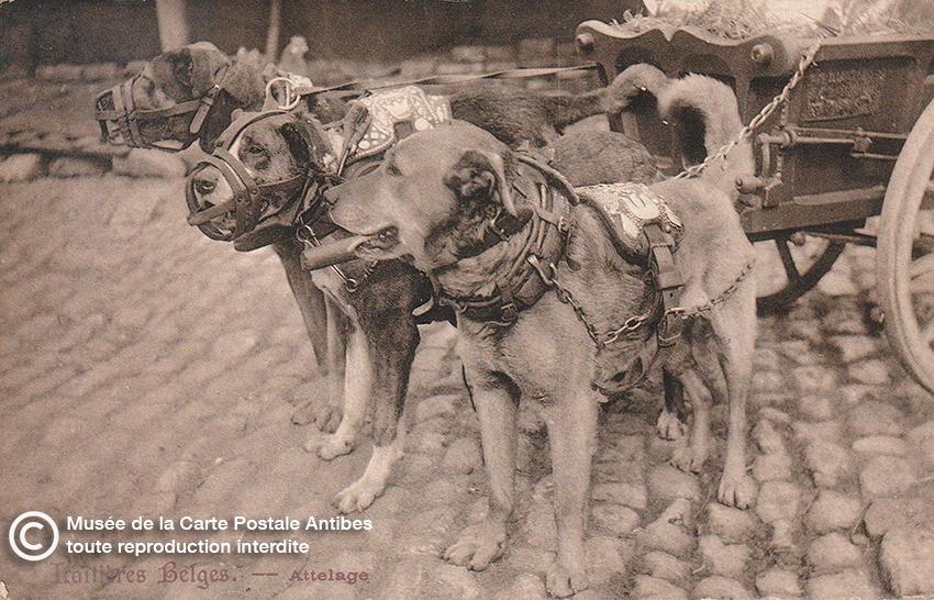 Carte postale belge représentant un attelage de chiens de trait.