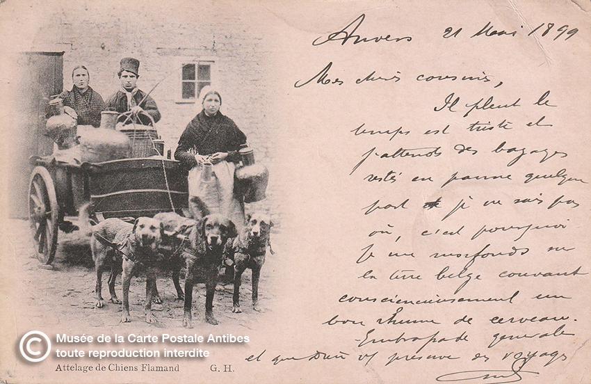 Carte postale ancienne représentant un attelage de chiens flamands.